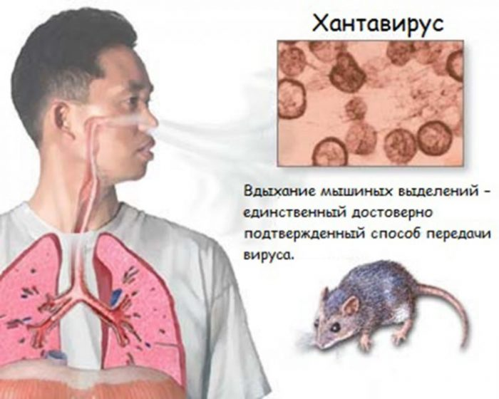 новый хантавирус